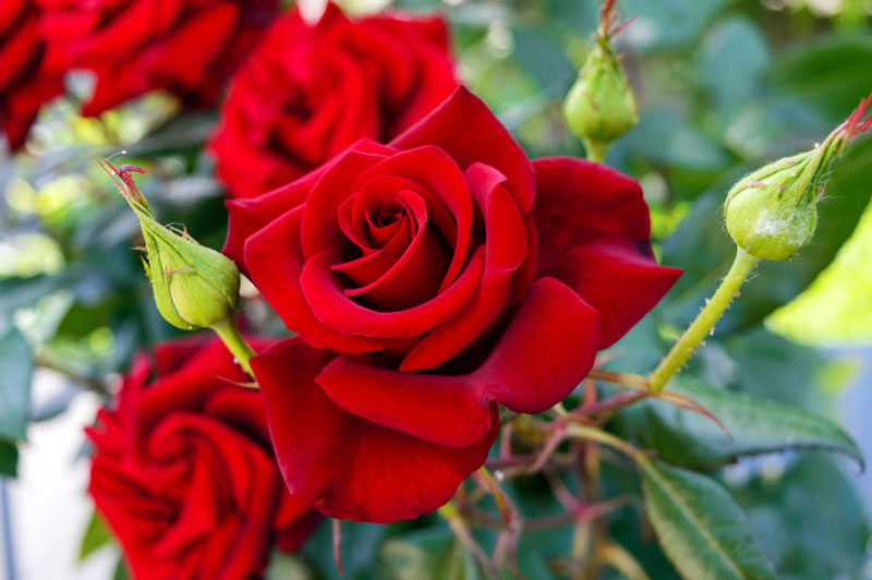 Blog The Meaning Behind Your Valentine S Rose