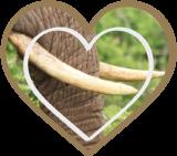 Ivory or Elelphant